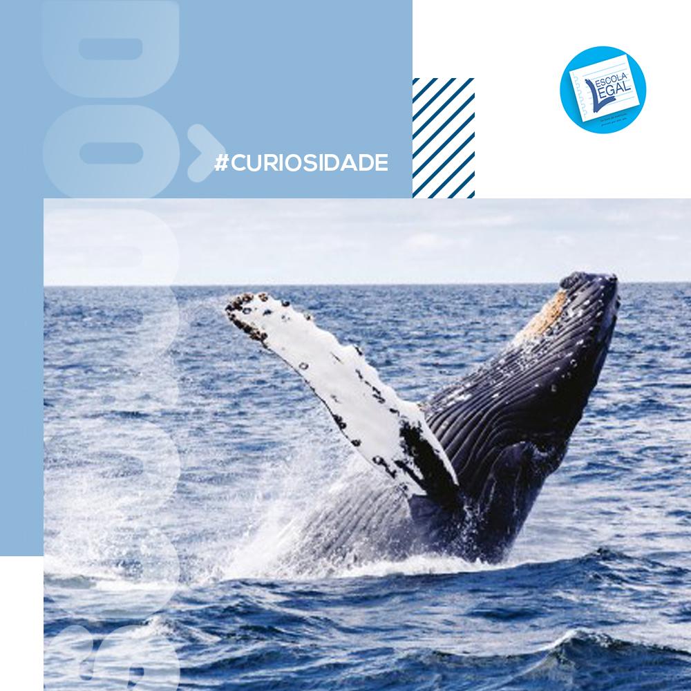 Baleias ajudam a combater mudanças climáticas, prestando serviço de captura de CO2 que custaria US$ 1 trilhão